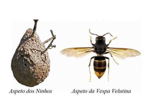 Município de Trancoso alerta para o aparecimento da vespa asiática no Concelho